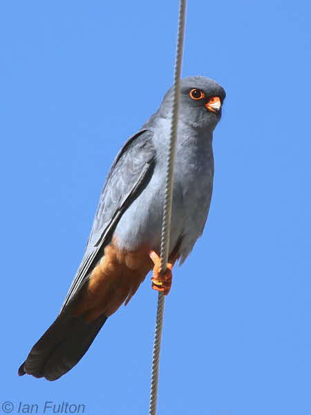 Red-footed Falcon, Dalyan, Turkey