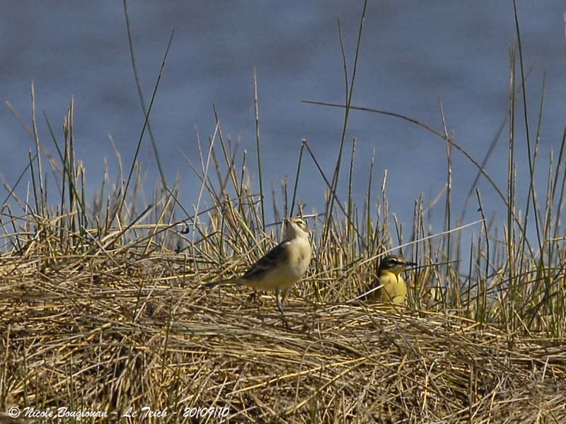 WESTERN YELLOW WAGTAIL pair