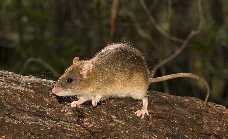 Rattus fuscipes - native bush rat