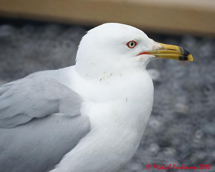 Ring-billed Gull 04199 copy.jpg