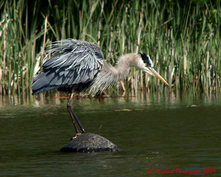 Great Blue Heron 07157 copy.jpg