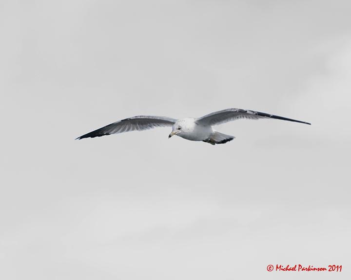 Ring-billed Gulls 02572 copy.jpg