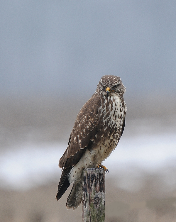Buizerd-Common Buzzard