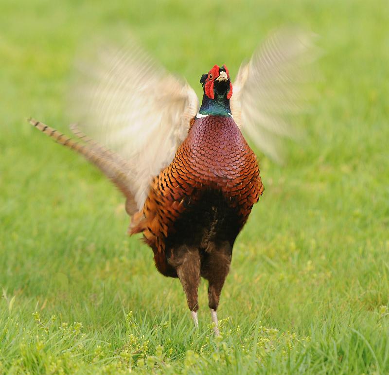 Fazant-Common Pheasant