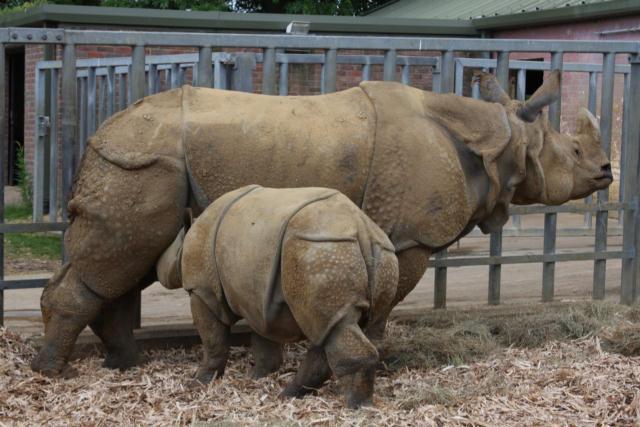 Panzernashörner / Asian Rhinos - suckling