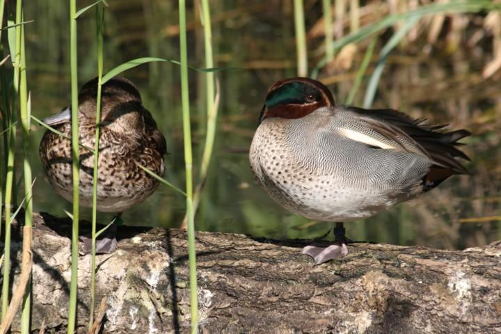 Krickenten / green-winged teals