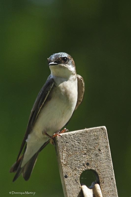 Hirondelle Bicolore / Tree Swallow 7268