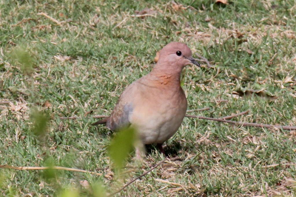 Little Brown Dove - 74 046