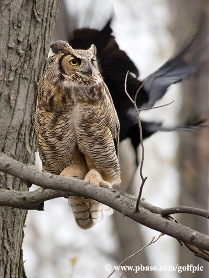 Great Horned Owl under attack
