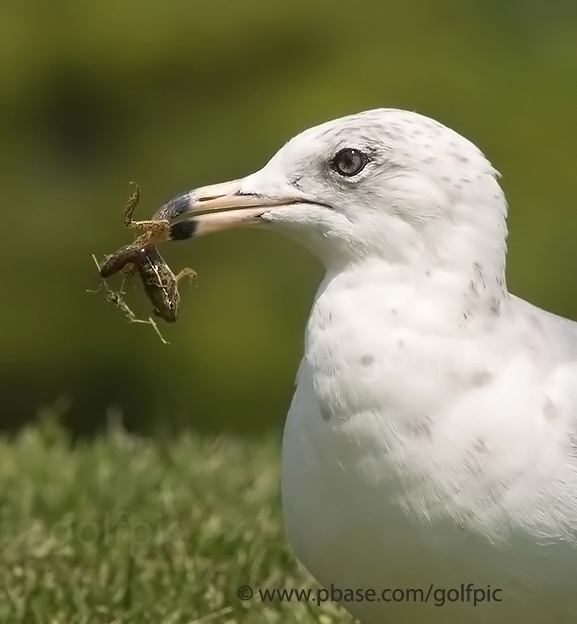Ring-billed Gull and frog