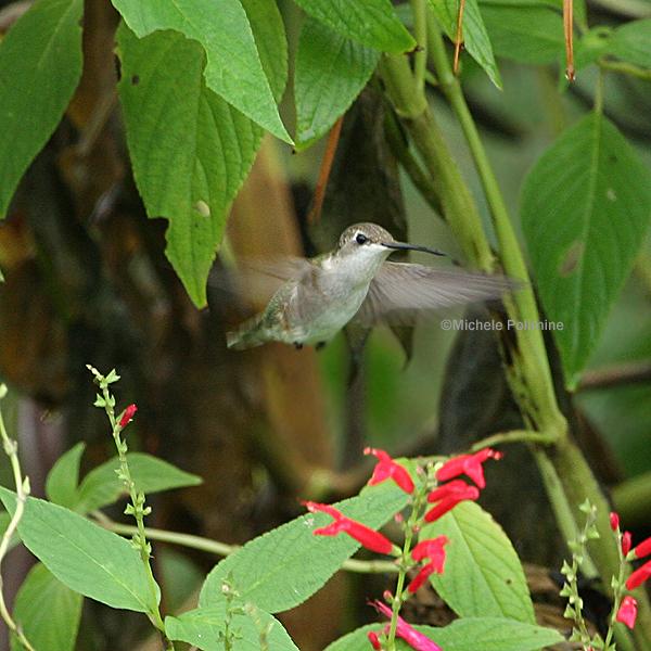 ruby throated hummingbird 0154 10-27-07.jpg