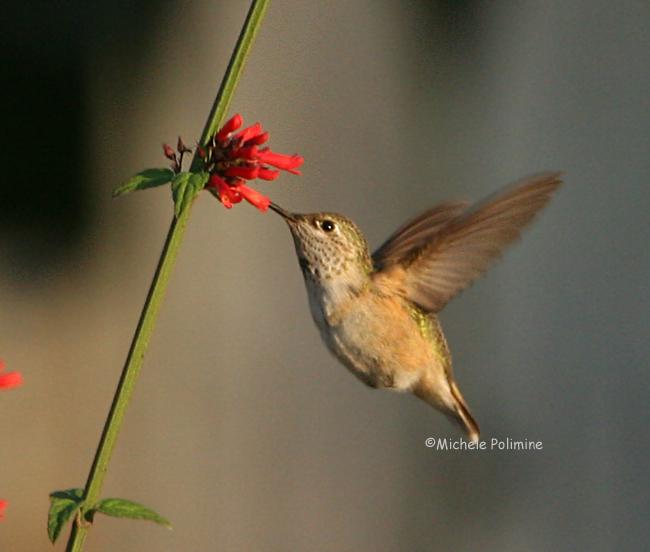 hummingbird 0081 11-4-07.jpg