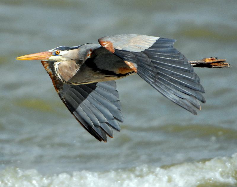 Heron, Great Blue