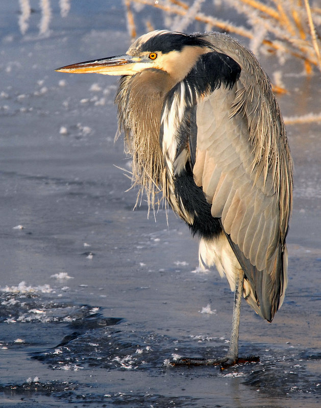 Heron, Great Blue