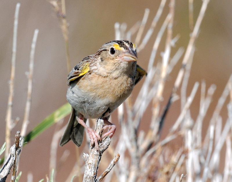Sparrow, Grasshopper