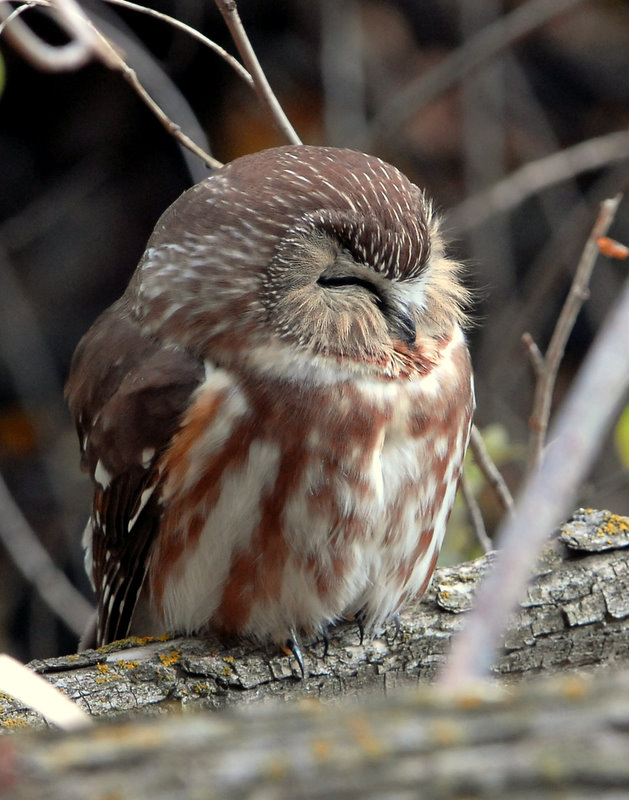 Owl Northern Saw-whetD-014.jpg