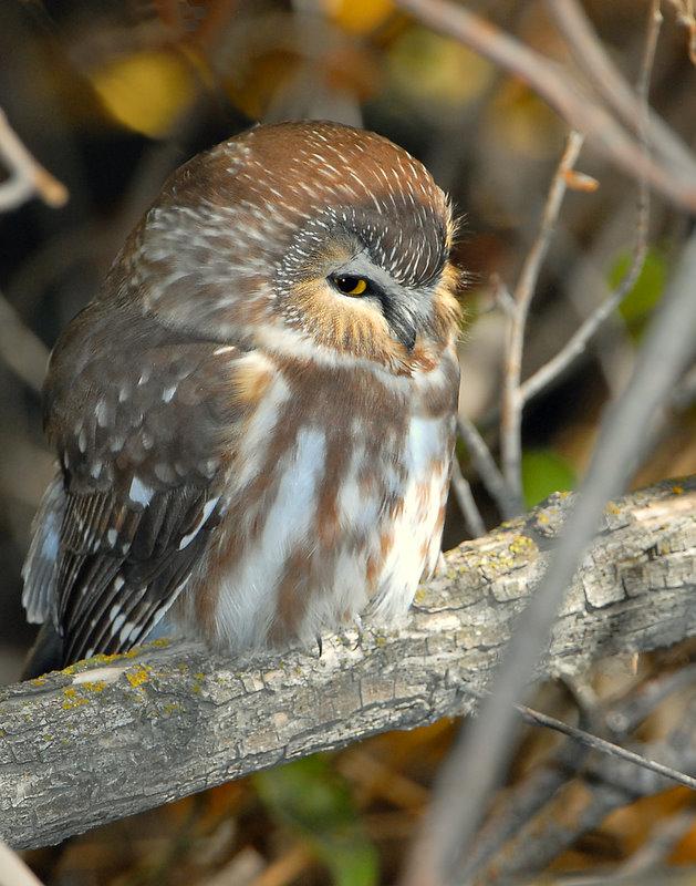 Owl Northern Saw-whetD-015.jpg