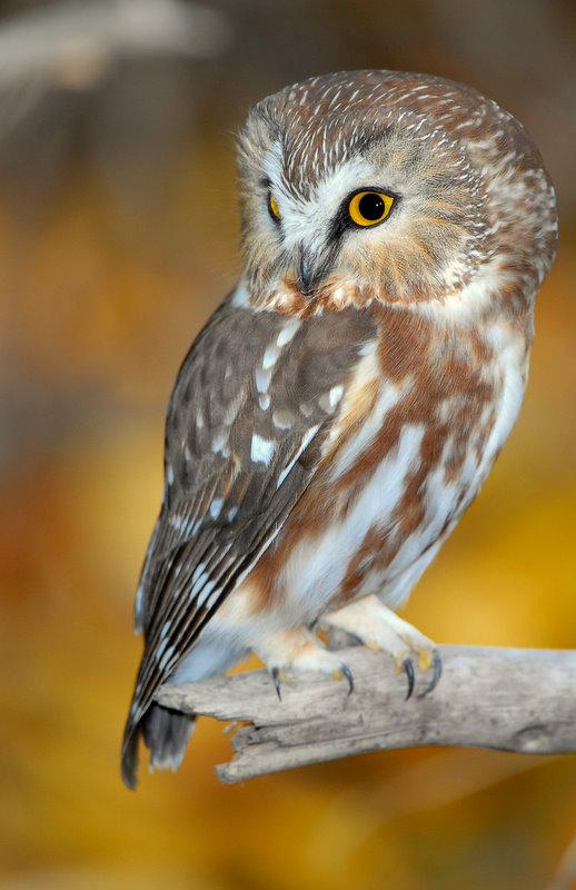 Owl Northern Saw-whetD-024.jpg