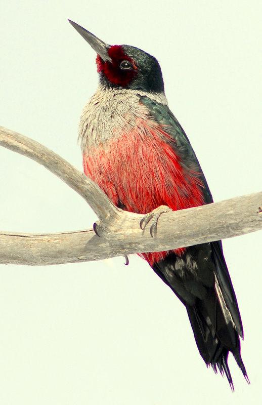 Woodpecker Lewis D-001.jpg