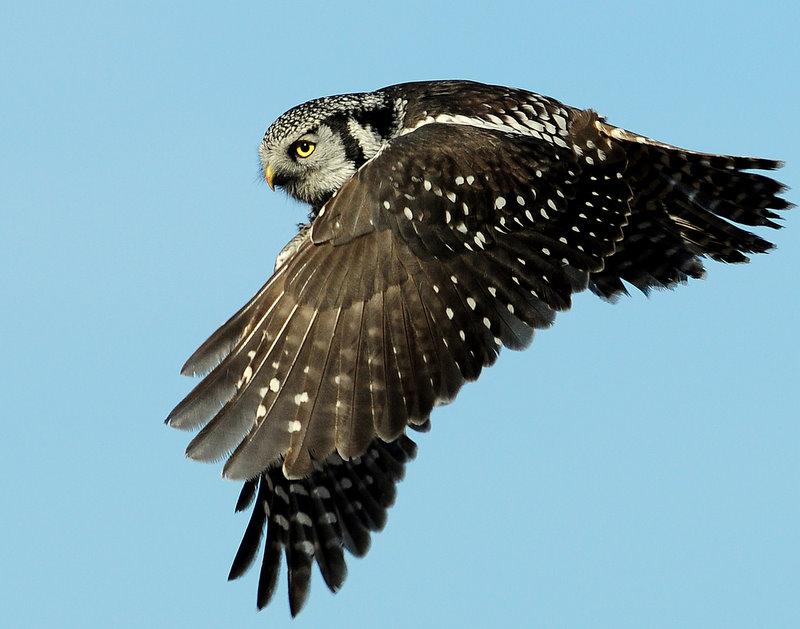 Owl Northern-hawk D-004.jpg