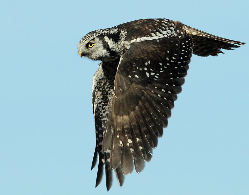 Owl Northern-hawk D-006.jpg