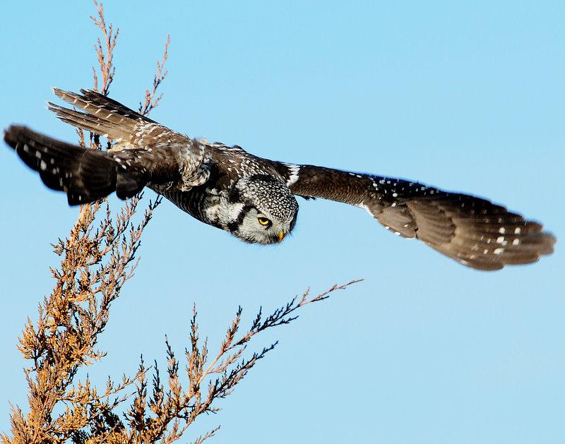 Owl Northern-hawk D-007.jpg