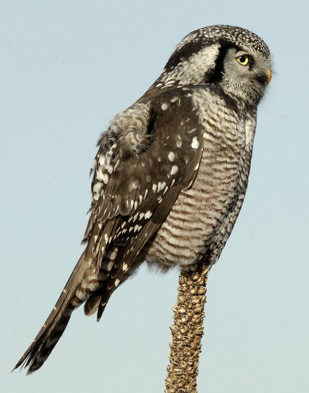 Owl Northern-hawk D-041.jpg