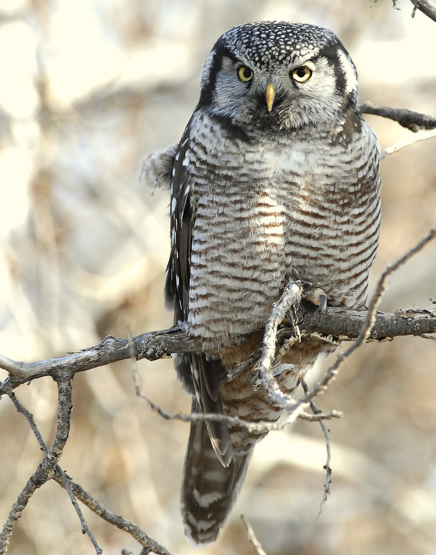 Owl Northern-hawk D-044.jpg