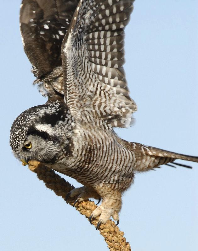 Owl Northern-hawk D-052.jpg