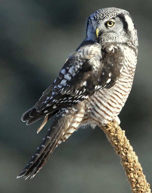 Owl Northern-hawk D-055.jpg