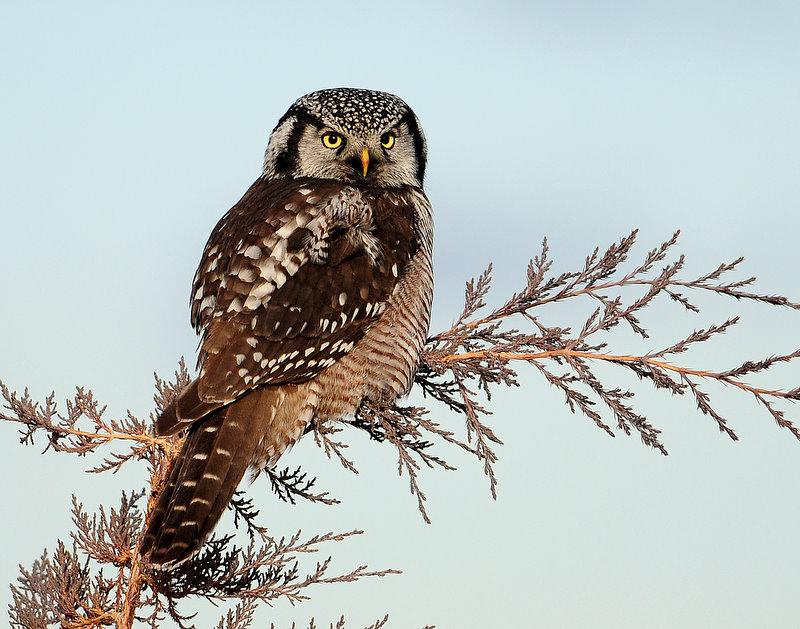Owl Northern-hawk D-001.jpg