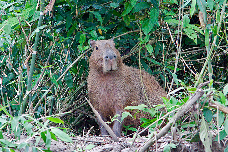 Early Morning Capybara