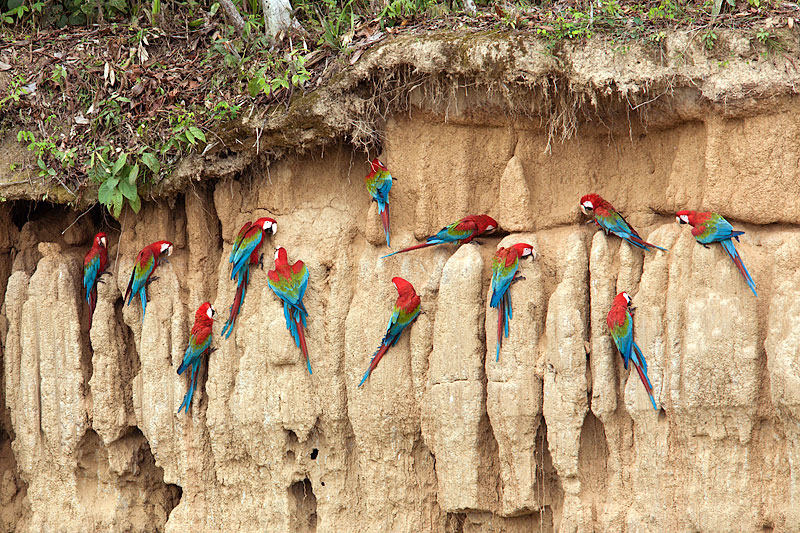 Salt Clay Lick: Red & Green Macaws Eating Minerals