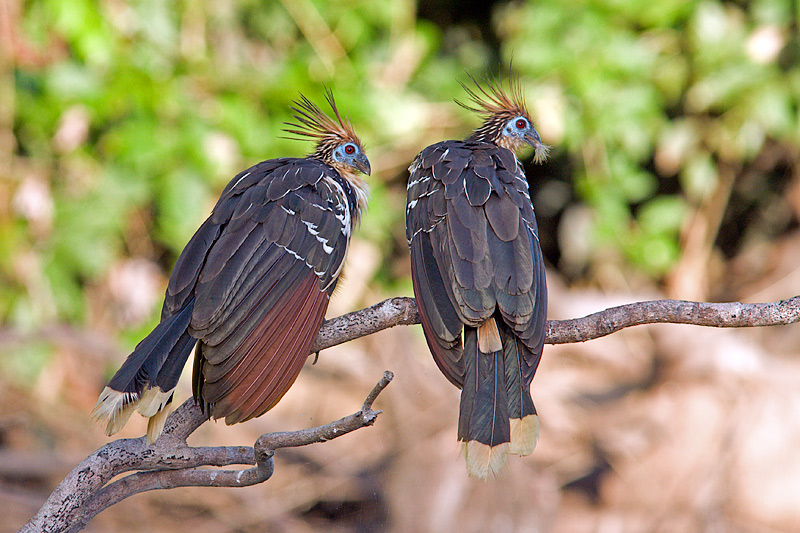 Hoatzins (opisthocomus hoazin)