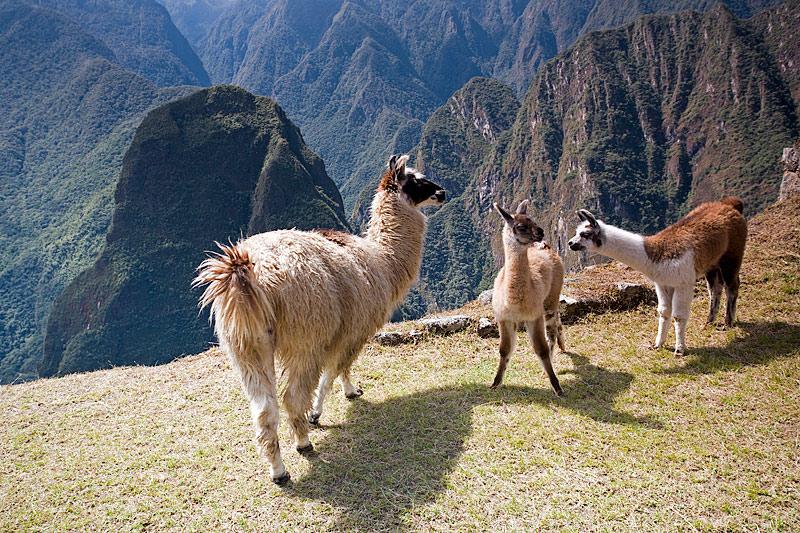 High Mountain Meeting (Llamas)