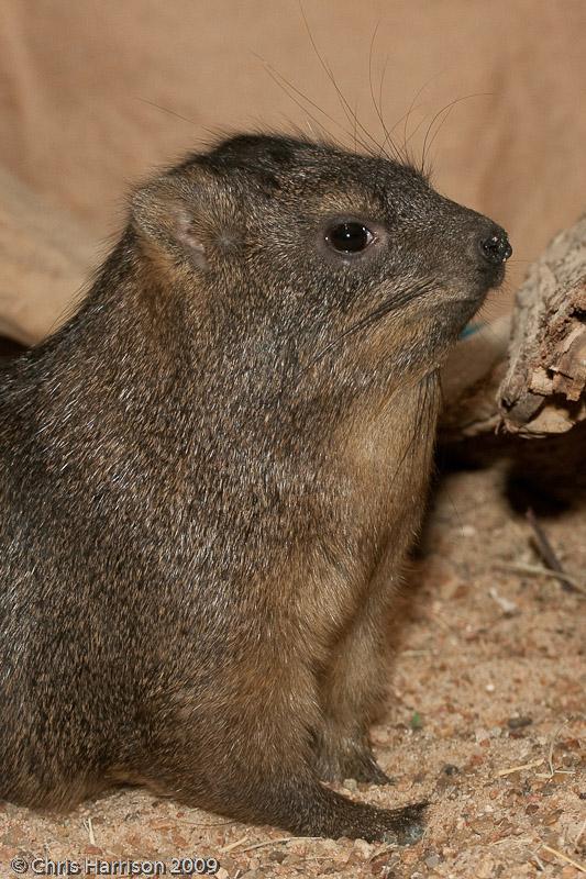 <b>Rock Hyrax</b><br><i>Procavia capensis</i>