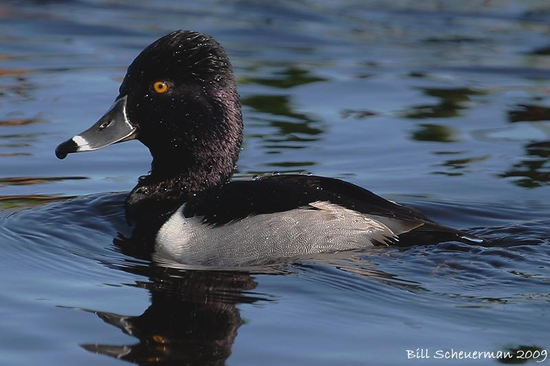Ringneck Duck