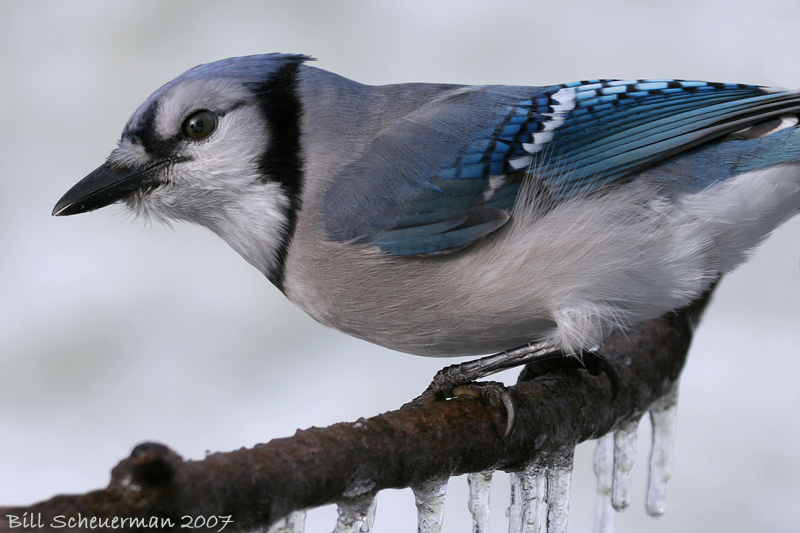 Blue Jay on ice