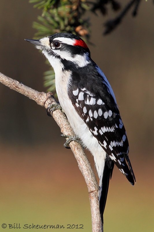 Downey Woodpecker ♂