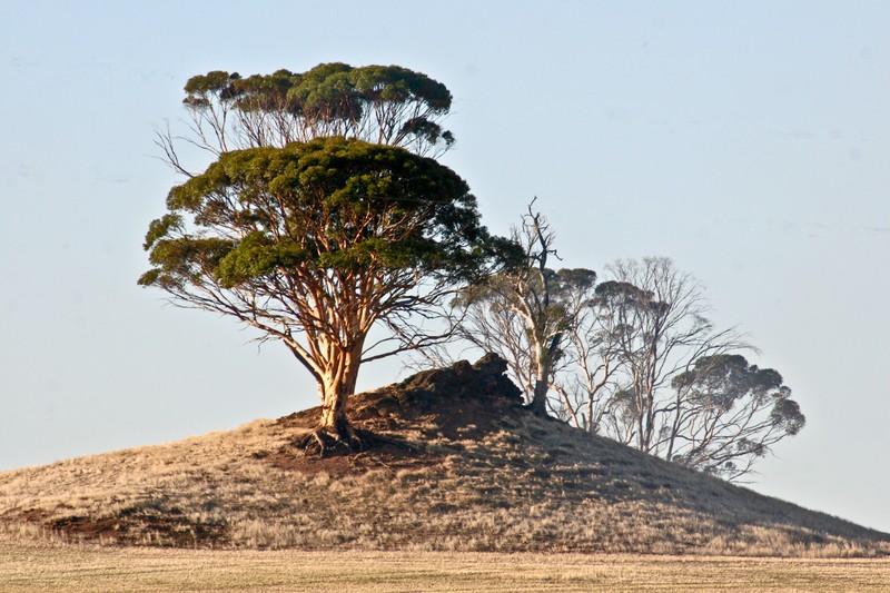 Pic 3 - Weird tree on weird  hill in SW WA