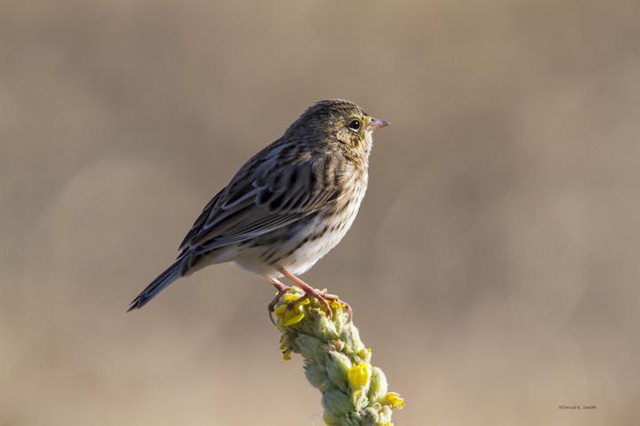 Vesper Sparrow, West Plains