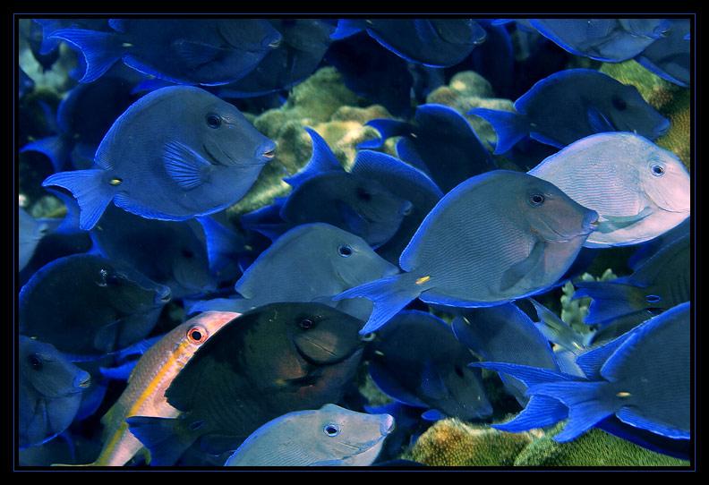 Blue Tang School