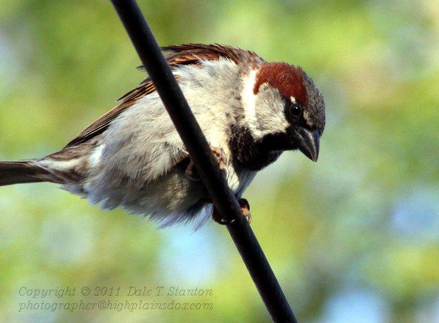 Sparrow - IMG_1886.JPG