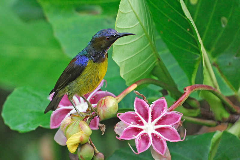 Plain-throated Sunbird ( Anthreptes malacensis ), male
