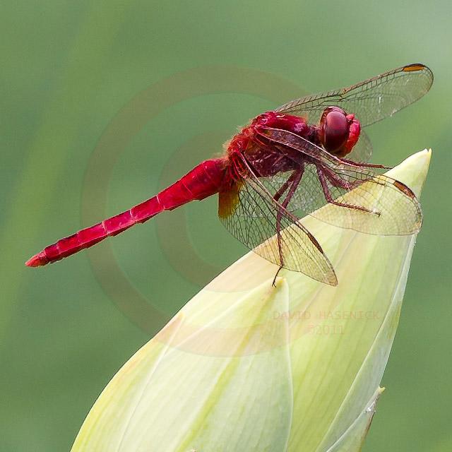 Korean Dragonfly 6594