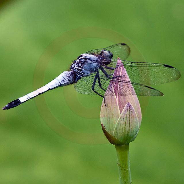 Korean Dragonfly 2748