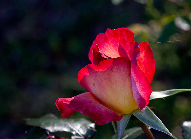 Red Rose Variegated
