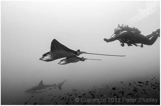 Swimming with eagle rays.