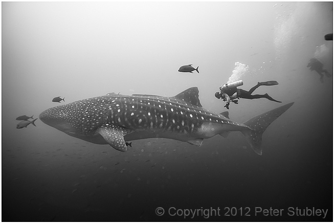 A boy and his whale shark....