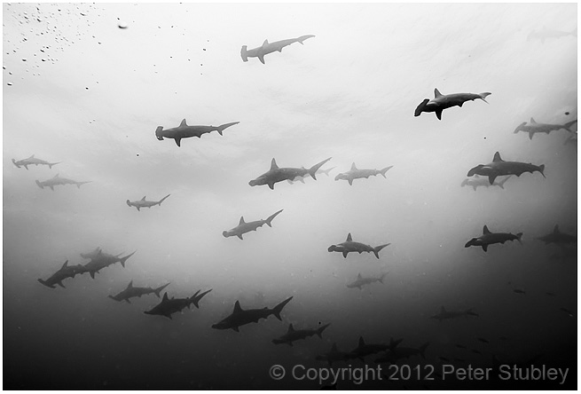 Another school of hammerhead sharks.